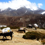 And more yaks